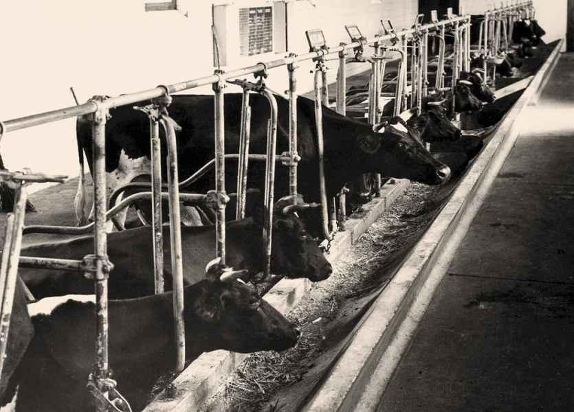 Escola de capataces, vaquería. Bastiagueiro (A Coruña), 1952