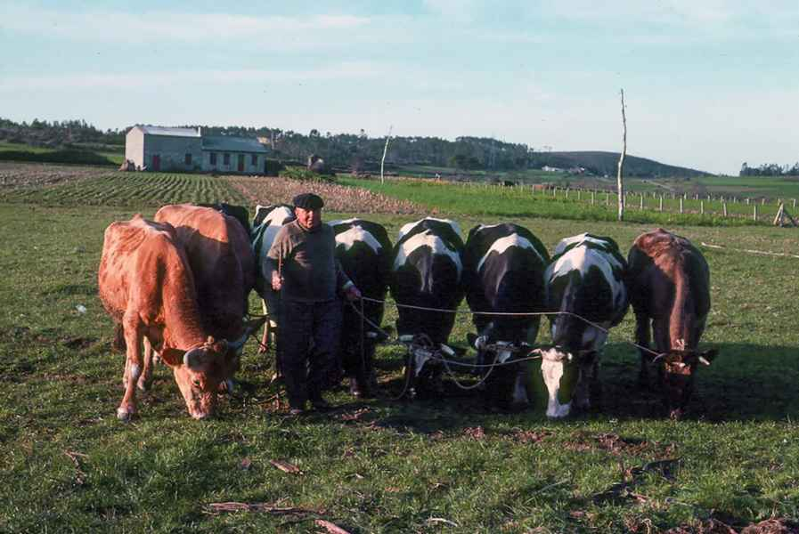 Vacas pastando conducidas con corda